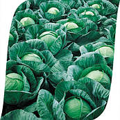 Капуста Вестри F1 Seminis 2500 семян