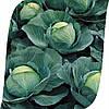 Капуста Атрия F1/ Atria F1 Seminis 2500 семян