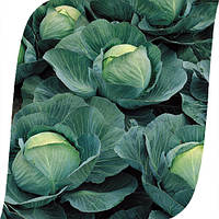 Капуста Атрия F1 Seminis 2500 семян