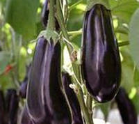 МИРИНДА F1 - семена баклажана, 1 000 семян, Lark Seeds, фото 1