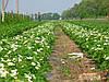 Клубника: Уход и выращивание.