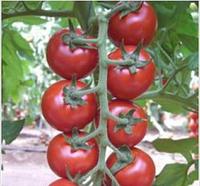 БИБИ F1 - томат индетерминантный, Semo