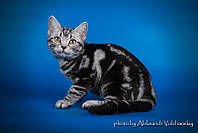 Американские короткошерстные котята. Родители импортированы из ведущих питомников Америки
