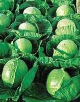 Семена Капуста белокочанная  ранняя Гермес F1, 2500 семян  Seminis