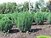 Можжевельник китайский 'Stricta'. Juniperus chinensis 'Stricta'