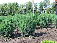 Можжевельник китайский 'Stricta'. Juniperus chinensis 'Stricta', фото 1