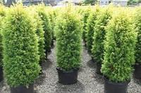 """Можжевельник обыкновенный """"Gold Cone"""". (Juniperus communis """"Gold Cone""""), фото 1"""
