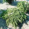 Можжевельник обыкновенный Грин Карпет. Juniperus communis Green Carpet .