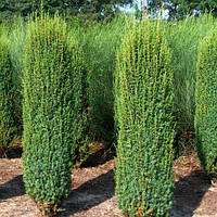Можжевельник обыкновенный Хиберника. Juniperus communis Hibernica.