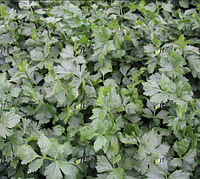 Емни 25г.  семена сельдерея листового, фото 1