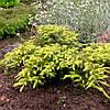 Можжевельник обыкновенный Депресса Ауреа (Juniperus communis Depressa Aurea)