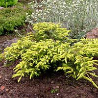 Можжевельник обыкновенный Депресса Ауреа (Juniperus communis Depressa Aurea), фото 1