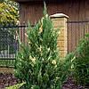 Можжевельник китайский 'Stricta Variegata'. Juniperus chinensis 'Stricta Variegata'