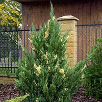 Можжевельник китайский 'Stricta Variegata'. Juniperus chinensis 'Stricta Variegata', фото 1