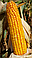 Кукуруза ТК 260