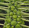 ФРАНКЛИН F1 - семена капусты брюссельской, 2 500 семян, Bejo Zaden