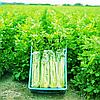 ТАНГО - семена сельдерея черешкового, 10 000 семян, Bejo Zaden