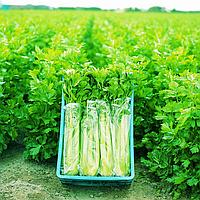 ТАНГО - семена сельдерея черешкового, 10 000 семян, Bejo Zaden, фото 1