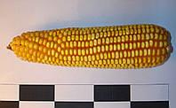 Гибрид кукурузы Оржица 237 МВ
