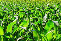 Оцінка генотипів кукурудзи на стійкість до загущення посівів.