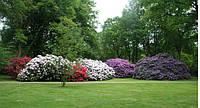 Рододендроны (Rhododéndron)