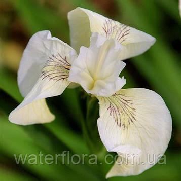 Ирис аировидный Крем де ля Крем - Iris pseudacorus Creme de la Crème