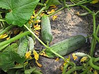 Огурец Гектор F1 супер ранний кустовой гибрид с дружной отдачей урожая в стрессовых условиях (20 сем. в пачке)