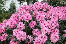 Рододендрон ( 70-80см ) Розеум Елеганс (Rhododendron Roseum Elegans )