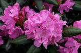 Рододендрон ( 70-80см ) Розеум Елеганс (Rhododendron Roseum Elegans ), фото 3
