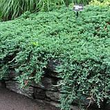 Можжевельник горизонтальный Вилтони Р9 (Juniperus horyzontalis Wiltonii), фото 2