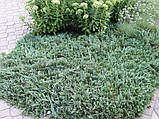 Можжевельник горизонтальный Вилтони Р9 (Juniperus horyzontalis Wiltonii), фото 3