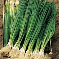 ПАРАДЕ - семена лука на перо 10 000 семян, Bejo Zaden, фото 1