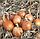 ТАМАРА F1 - семена лука репчатого 10 000 семян, Bejo Zaden, фото 2