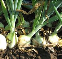СИБИРЬ - семена лука репчатого озимого  PR 250 000 семян, Bejo Zaden
