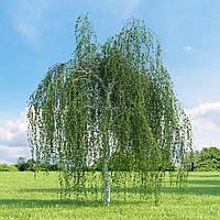 """Лиственное дерево БЕРЕЗА БОРОДАВЧАТАЯ ПЛАКУЧАЯ """"YOUNGII"""" (10/12см)"""