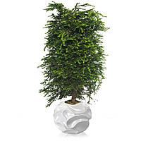 Хвойное дерево Тсуга канадская (100-120см)