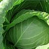 РЕАКТОР F1 - семена белокочанной капусты, 2 500 семян, Syngenta