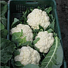 АЛАМБРА Ф1 - семена цветной капусты,  2 500 семян, Syngenta