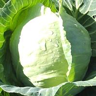 РАДАН F1 - семена капусты белокочанной, 2 500 семян, Enza Zaden