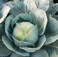 СТОРИДОР F1 - семена белокочанной капусты, 2 500 семян, Syngenta, фото 1