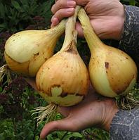 ЕКСІБІШН - насіння цибулі ріпчастої, 10 000 насінин, Bejo Zaden, фото 1