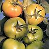 АФАМИЯ F1 - семена томата индетерминантного, 250 семян, Enza Zaden