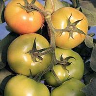АФАМИЯ F1 - семена томата индетерминантного 500 семян, Enza Zaden