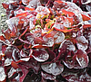 Руксай - насіння салату тип Дуболистный дражування 1 000 насінин, Rijk Zwaan