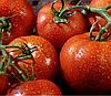 ПАНЕКРА F1 - семена томата, Syngenta