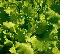 ФАНЛИ - семена салата 5 000 семян, Syngenta