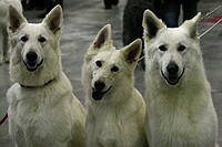 Поводок-рулетка для собак вагою до 50кг