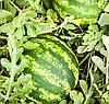 БОСТАНА F1 - семена арбуза, 1 000 семян, Syngenta