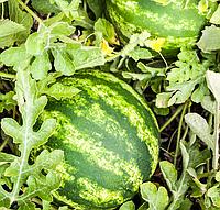 БОСТАНА F1 - семена арбуза, 1 000 семян, Syngenta, фото 1
