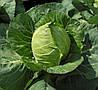 ЭТМА F1 - семена капусты белокочанной калиброванные, 1 000 семян, Rijk Zwaan